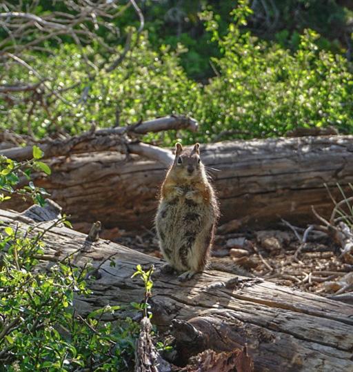 A furry friend along Bristlecone Trail